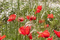 Cerrajas Es primavera florecen los prados de varios colores, están salpicados blancas margaritas, rojas amapolas, verdes tréboles y jugosas cerrajas...