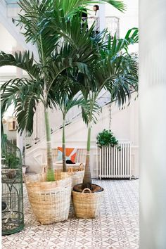 palm tree house plant