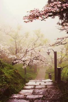 To see the cherry blossom in Japan