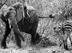 This cracked me up! I can't believe the zebra was pulling the elephant's tail!