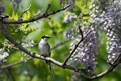 藤の花とサンショウクイ : T/Hの野鳥写真-Ⅰ