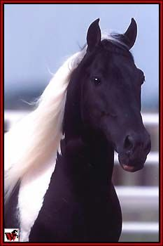 Tennessee Walking Horse - Paint's Cotton