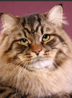 SGC Mittelmeijer Roskoshniy Kot Mur ---brown tabby Siberian --- International  Best Cat 2013