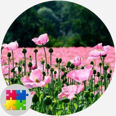 Jigsaw Puzzels, Pink Poppies, Free Fun, Desktop, Puzzle, Digital, Art, Art Background, Puzzles