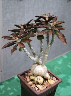 Euphorbia Ambovombensis Exotic Madagascar Bonsai caudex cacti Seed 5 Seeds   eBay