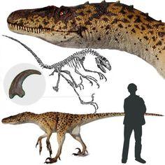Deinonychus - Este dinosaurio era una perfecta máquina de cazar. Es uno de los dromeosáuridos más conocidos. Poseía una cabeza de gran tamaño, dientes aserrados y curvados hacia atrás, fuertes y largos brazos y un dedo en el pie provisto con una terrorífica garra afilada, con la que se cree, desgarraba a sus presas. El Deinonychus era un depredador veloz, ágil e inteligente. Se cree que su peso era de unos 68 kg. Longitud: 3 - 4 metros. Encontrado en Norteamérica.