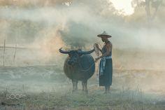 Asian farmer and buffalo in the countryside. - Asian farmer and buffalo in the countryside.