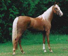 IL #CAVALLO AMERICANO DA SELLA. E' una razza nativa degli Stati Uniti di cavalli da sella e tiro leggero, creata a fine Ottocento nel Kentucky e nella Virginia.  In passato i cavalli di questa razza erano usati prima nei lavori agricoli, successivamente nella… Per continuare a conoscere la razza: https://itunes.apple.com/it/app/vademecum-del-cavallo-secondo/id765697733?mt=8&uo=4 Grazie.