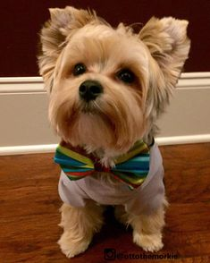 """Discover even more details on """"yorkshire terrier dogs"""". Browse through our site. Yorkies, Yorkie Dogs, Pet Dogs, Pets, Havanese Puppies, Miniature Schnauzer Puppies, Schnauzer Puppy, Schnauzers, Terriers"""