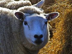 Raising Sheep For Wool, Milk And Meat At Home