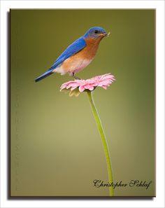 Eastern BlueBird: Photo by Photographer Christopher Schlaf - photo.net