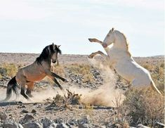 Prince and Nero, Virginia Range stallions. Photo by Phillip Adams.