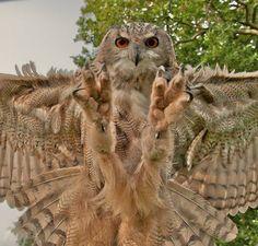 owl-gotcha