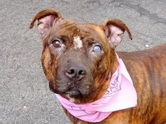 TO BE DESTROYED 9/10/14 SUPER URGENT 9/4/14 Manhattan Center   PICKACHU - A1012446   FEMALE, BR BRINDLE / BLACK, STAFFORDSHIRE MIX, 2 yrs, 1 mo STRAY - ONHOLDHERE, NO HOLD Reason ABANDON  Intake condition EXAM REQ Intake Date 08/30/2014, From NY 10452, DueOut Date 09/03/2014,  https://www.facebook.com/Urgentdeathrowdogs/photos/a.611290788883804.1073741851.152876678058553/865821773430703/?type=3&theater