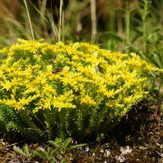 Sedum sexangulare - Orpin - Vivace couvre sol à petites feuilles