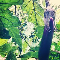 the PERFECT #eggplant in the Hillside Permaculture Garden