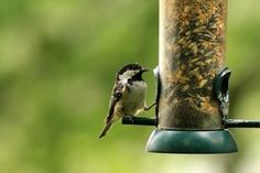 Feeding Backyard Birds: Tips For Attracting Birds To Your Garden - Attracting birds to your garden is good for the garden as well as the birds. Natural habitats that provide birds with food, shelter and water will encourage their presence. Learn more in this article.