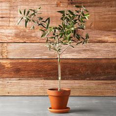 // Olive Tree
