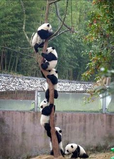 Pandas … playing Follow the Leade