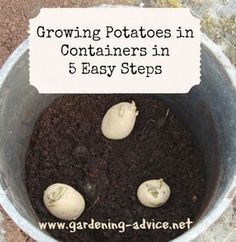 Growing Potatoes In Containers is great fun. This simple way of growing potatoes can be done on the patio, on  balconies or backyard. Harvest loads of delicious tubers from a potato planter. #potato #garden