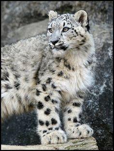 Stately Snow Leopard (by Steve Tracy Photography)