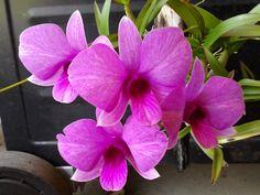 Dendrobium bigibbum var. compactum