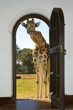 Rothschild giraffe at the Giraffe Manor, Kenya. The Giraffe Manor provides lodging on a property near Nairobi, Kenya with a resident herd of giraffe. by Jim Zuckerman Animals And Pets, Baby Animals, Funny Animals, Cute Animals, Mundo Animal, My Animal, Kenya, Beautiful Creatures, Animals Beautiful