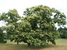 The Solution for Chestnut Tree Decline (American Chestnut Trees and Chestnut Blight) | #starkbros