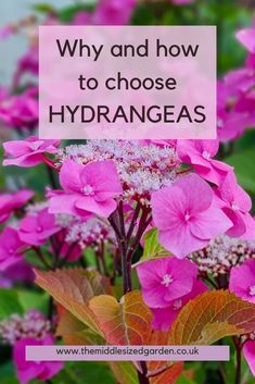 Where to plant and how to care for hydrangeas in your garden. They offer months of interest in summer, autumn and even winter! #middlesizedgarden Hydrangea Potted, Hydrangea Varieties, Smooth Hydrangea, Hydrangea Care, Hydrangea Arborescens Annabelle, Hydrangea Quercifolia, Types Of Hydrangeas, Hydrangea Colors, Low Maintenance Garden Design