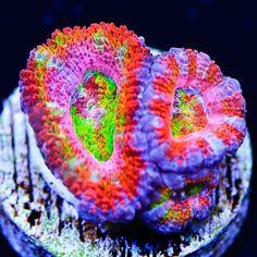 Marine Aquarium, Reef Aquarium, Saltwater Tank, Saltwater Aquarium, Sps Coral, World Wide Corals, Reef Tanks, Aquarium Ideas, Soft Corals