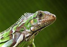 Fotograf Iguana von Emir Bemerguy Filho auf 500px