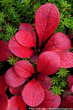 Bearberry Plant - Bearberry is a low growing evergreen.