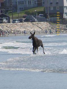 Moose Goes Surfing... York Beach, Maine http://www.visitmaine.net/page/102/york-beach-maine
