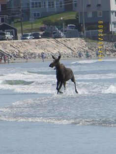 Moose Goes Surfing... York Beach, Maine http://www.visitmaine.net/page/102/york-beach-maine