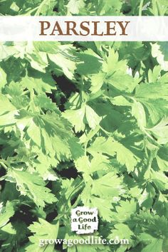 Grow Herbs Indoors: Parsley is just one of the herbs that can grow indoors during the winter. See the other herbs that can grow successfully with low light and cooler temperatures.