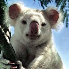 Картинки по запросу Koalas