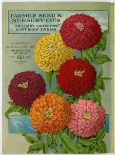 "These ""brilliant"" giant zinnias, pictured in the 1918 Farmer Seed & Nursery catalog would brighten any garden.  Farmer Seed & Nursery originated in Faribault, MN in 1888, and a collection of their vintage catalogs is hosted by  The University of Minnesota Andersen Horticultural Library."