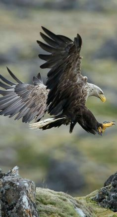 THE White Tailed Eagle ❤