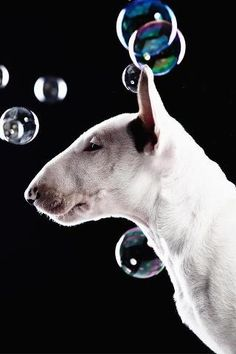 #English #Bull #Terrier and Colored Bubbles