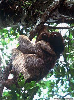 Bradypus torquatus (Brazilian Three-toed Sloth, Maned Sloth, Maned Three-toed Sloth) is listed Vulnerable on the IUCN Red List.