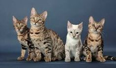 Bengal cats! Cool cats!