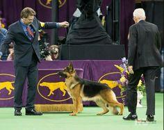 Lockenhaus Rumor has it, 2015 Westminster dog show
