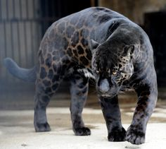 A melanistic jaguar- a colour morph which occurs at about 6% frequency in populations.