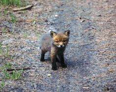 yourhippielove:  earthandanimals:  darkeningx:  triumfa:  Baby fox I met today in the forest  ;________;  I would have died with happiness. So adorable.  I just keep cussing at my screen its so damn cute