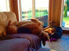 Airedale Sleep Position # 67