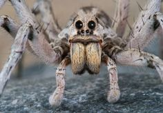 Interesting Facts About Wolf Spiders. Facts For Kids. Are Wolf Spiders Poisonous? Eight Eyes. Spider Face, Wolf Spider, Interesting Facts About Wolves, Ugly Animals, Adorable Animals, Carnival Of The Animals, Peacock Photos, Jumping Spider, In This World