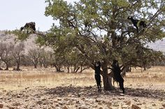 Goats in argan trees, Sousse, southern Morocco (7) -