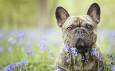 Scarica sfondi cane, animali domestici, bulldog francese