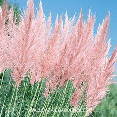 Pampas Grass, Pink Feather