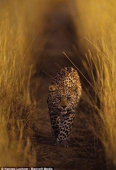 Africa   Luna, making her way through the high grass.  Kalahari Desert   ©Hannes Lochner